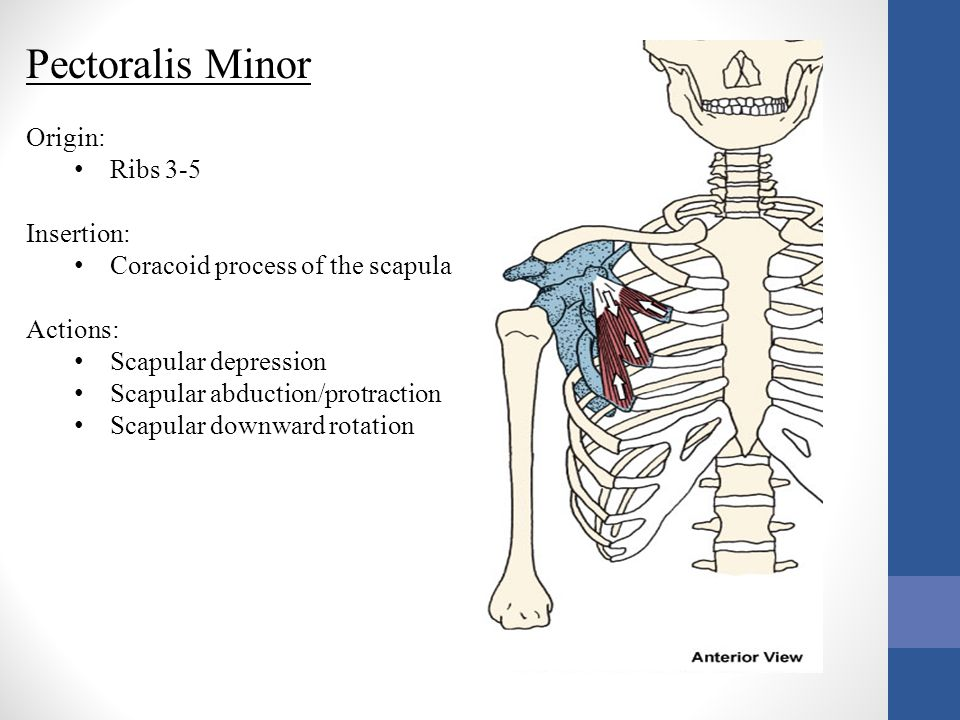 Pectoralis Minor Origin: Ribs 3-5 Insertion:
