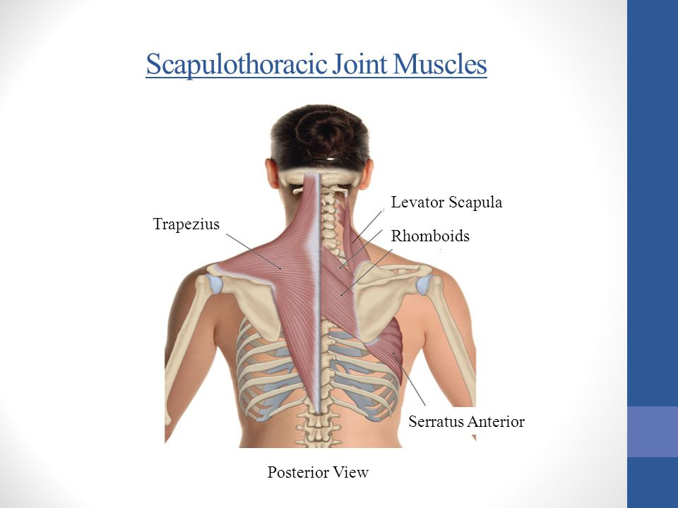 Scapulothoracic Joint Muscles