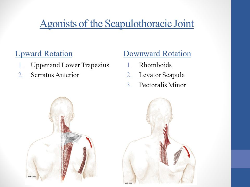 Agonists of the Scapulothoracic Joint