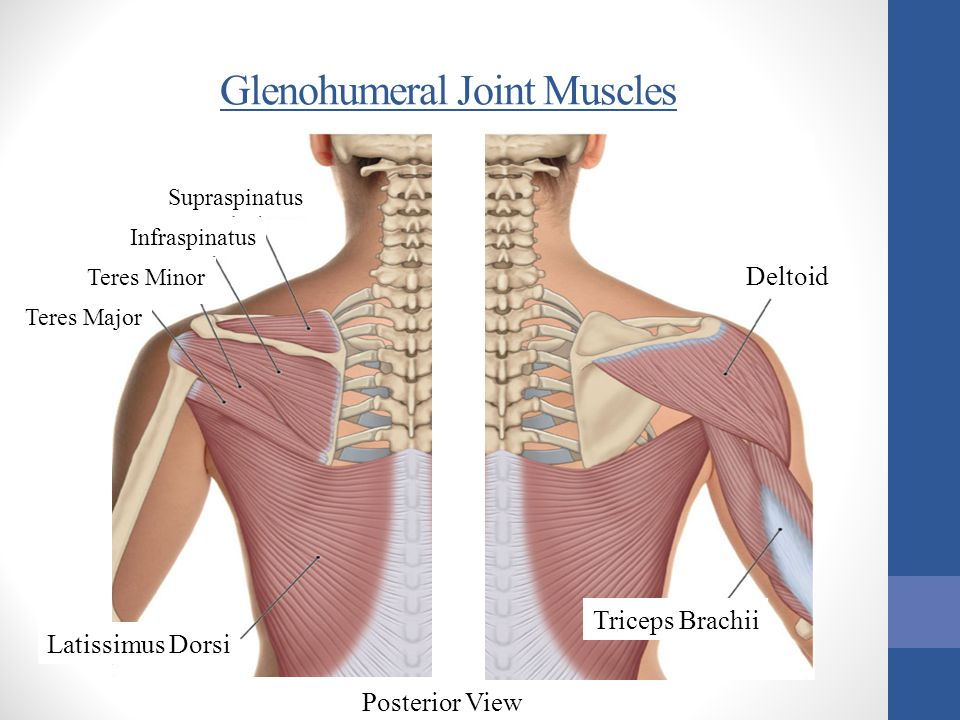 Glenohumeral Joint Muscles