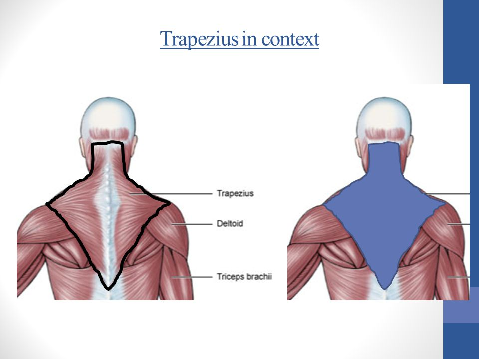 Trapezius in context
