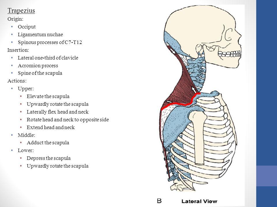 Trapezius Origin: Occiput Ligamentum nuchae