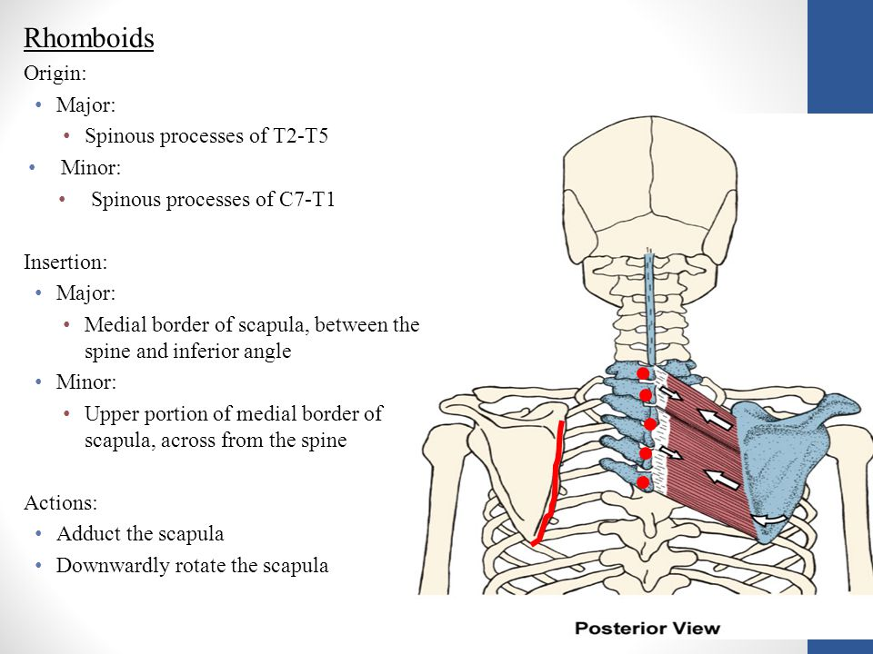 Rhomboids Origin: Major: Spinous processes of T2-T5 Minor: