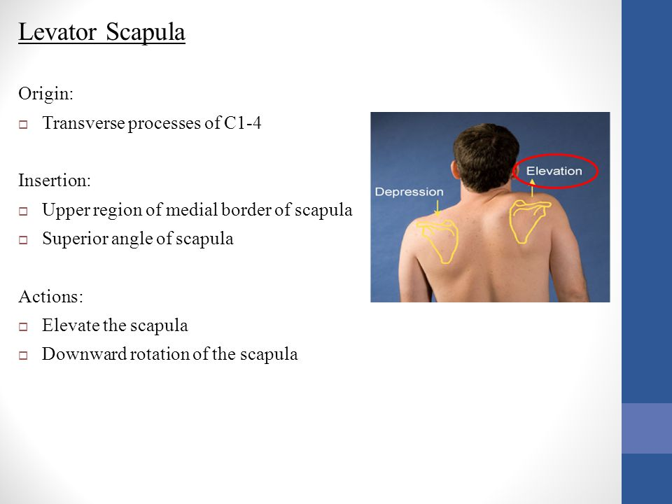 Levator Scapula Origin: Transverse processes of C1-4 Insertion: