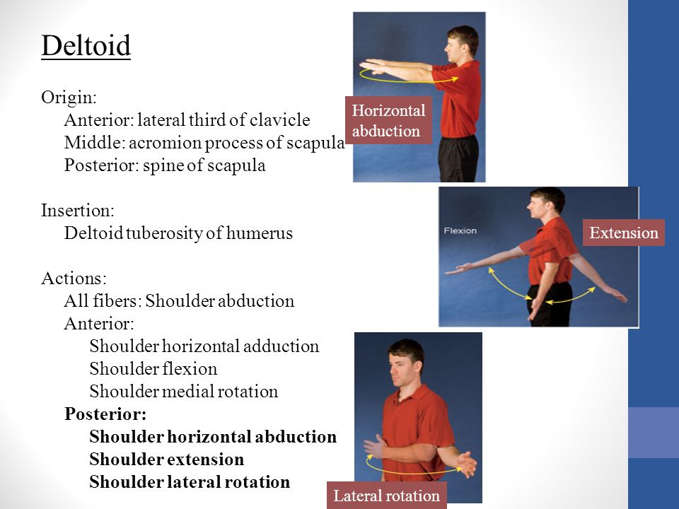Deltoid Origin: Anterior: lateral third of clavicle