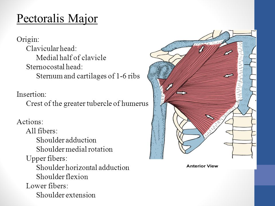Pectoralis Major Origin: Clavicular head: Medial half of clavicle