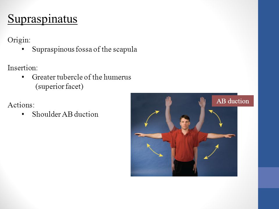 Supraspinatus Origin: Supraspinous fossa of the scapula Insertion: