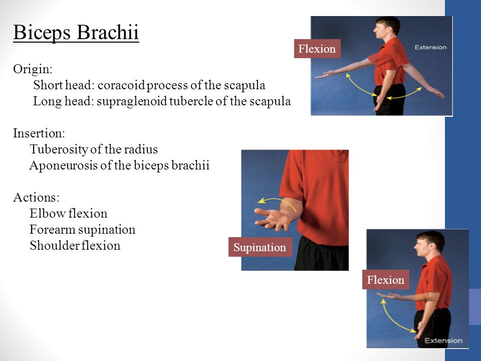 Biceps Brachii Origin: Short head: coracoid process of the scapula