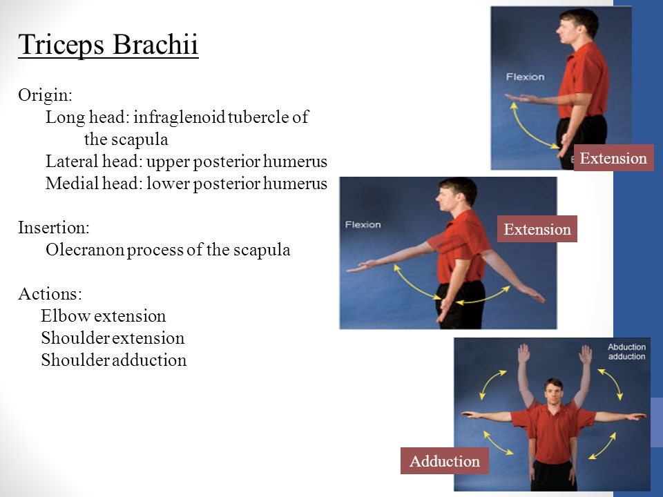 Triceps Brachii Origin:
