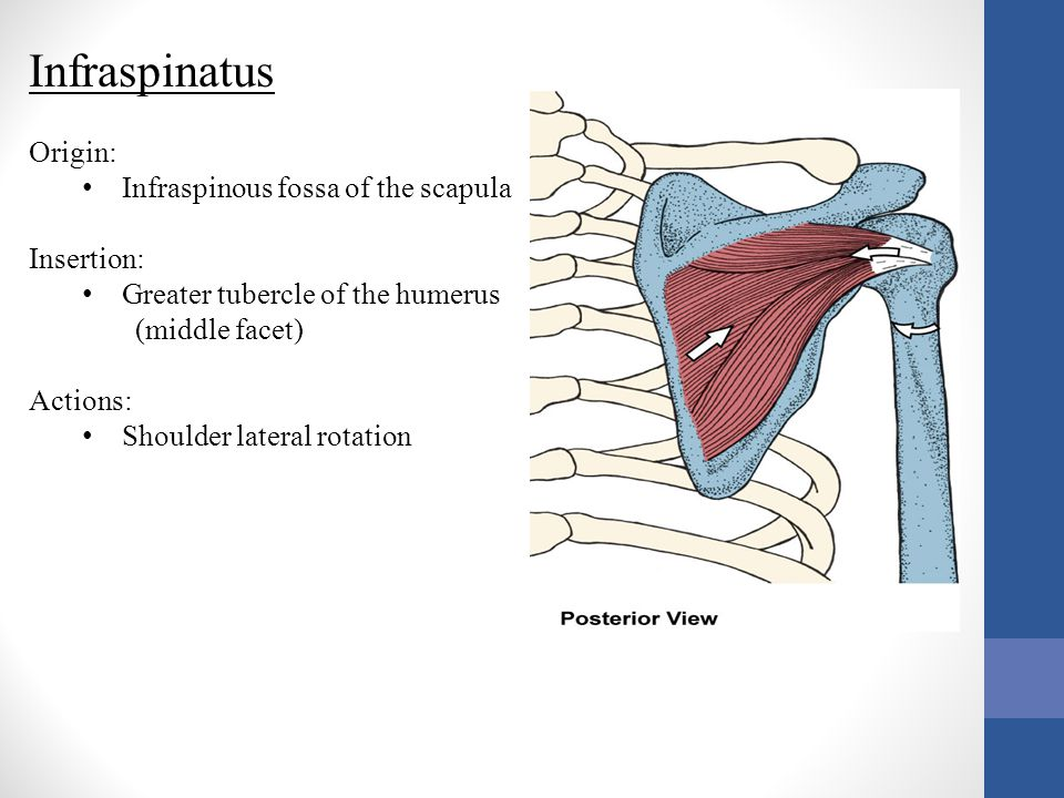 Infraspinatus Origin: Infraspinous fossa of the scapula Insertion: