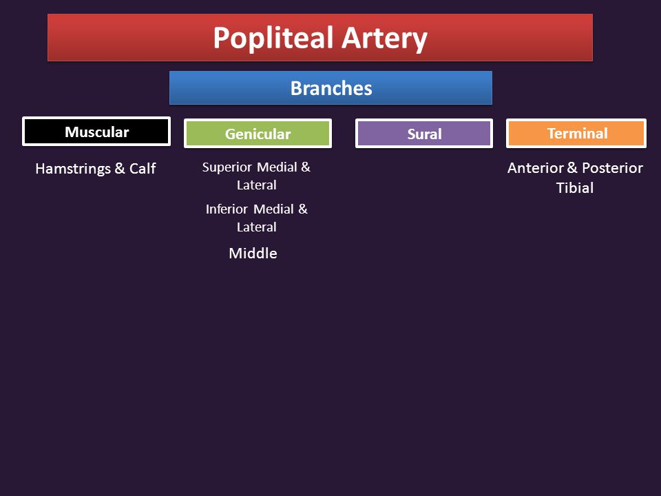 Popliteal Artery Branches Muscular Genicular Sural Terminal