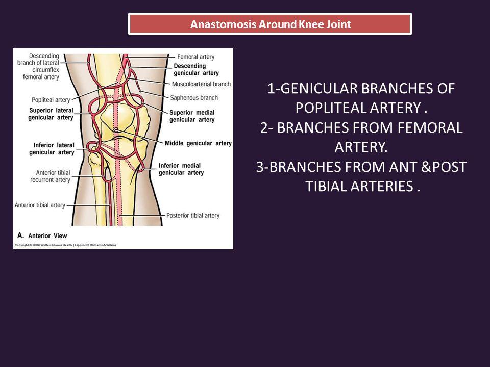 Anastomosis Around Knee Joint