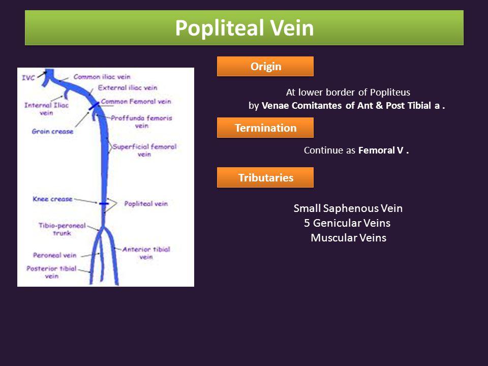 Small Saphenous Vein 5 Genicular Veins Muscular Veins