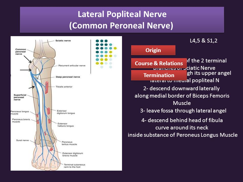 Lateral Popliteal Nerve (Common Peroneal Nerve)