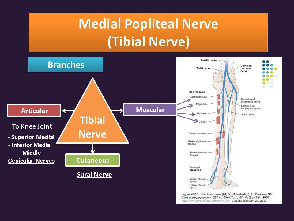 Medial Popliteal Nerve (Tibial Nerve)