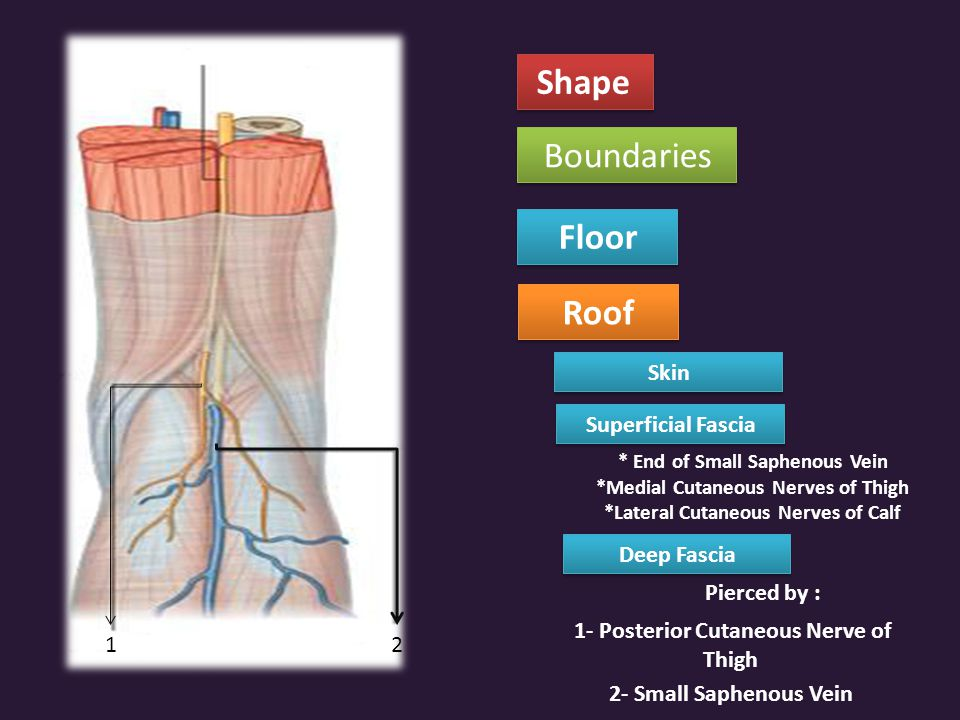 1- Posterior Cutaneous Nerve of Thigh