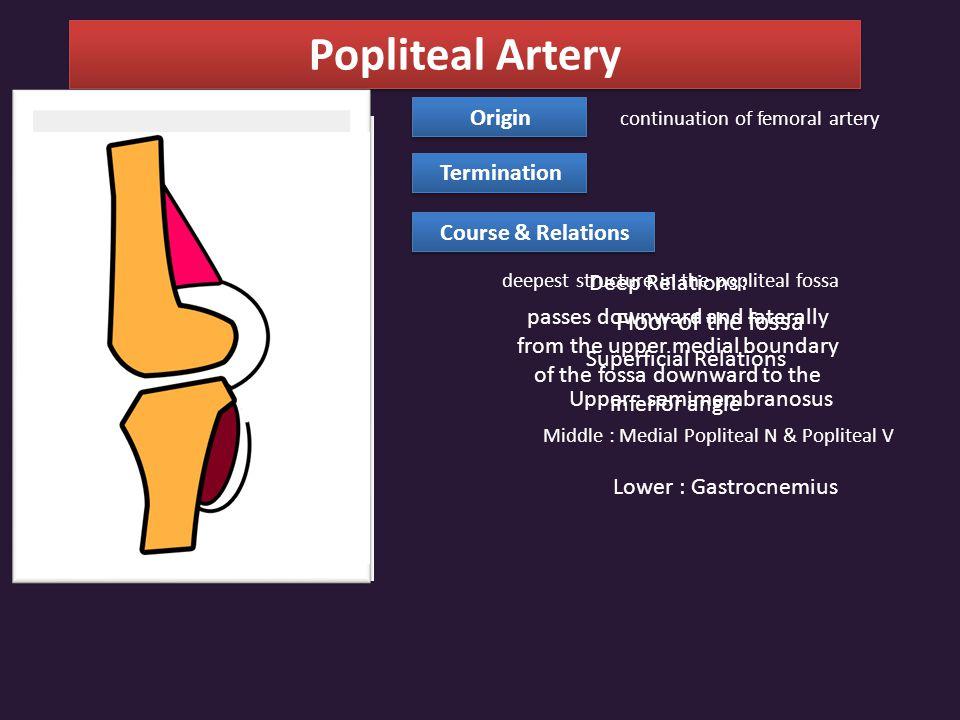 Popliteal Artery Floor of the fossa Origin Termination
