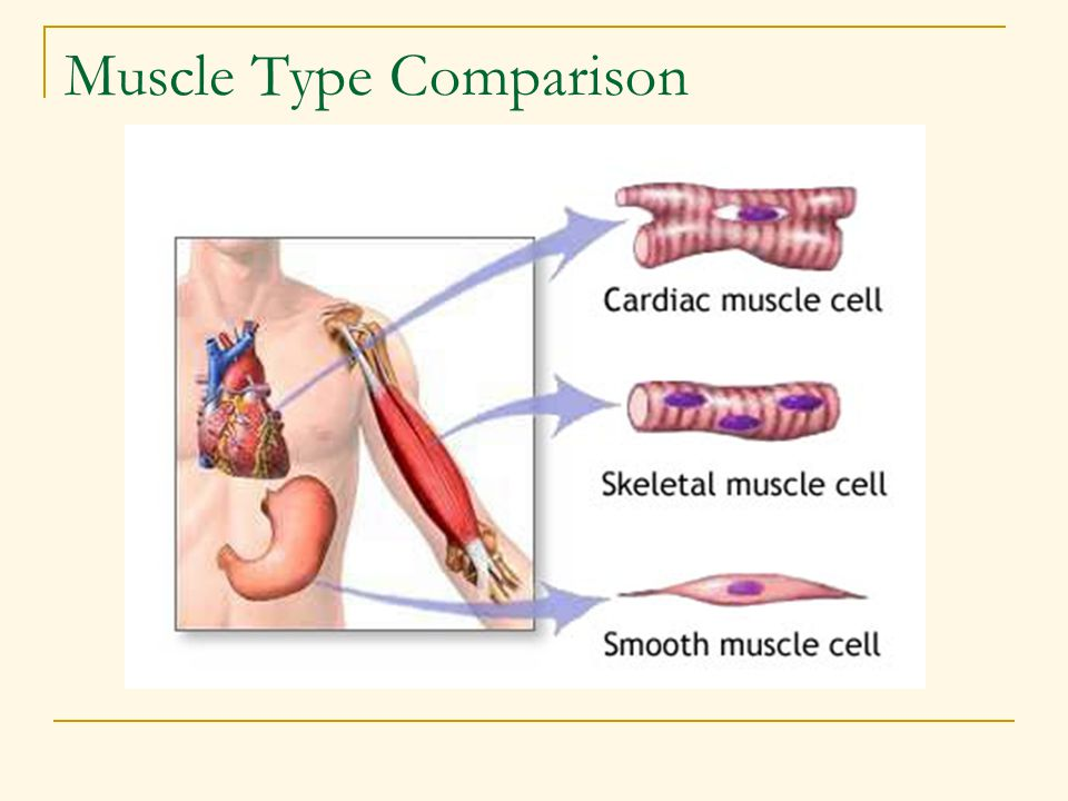 Muscle Type Comparison