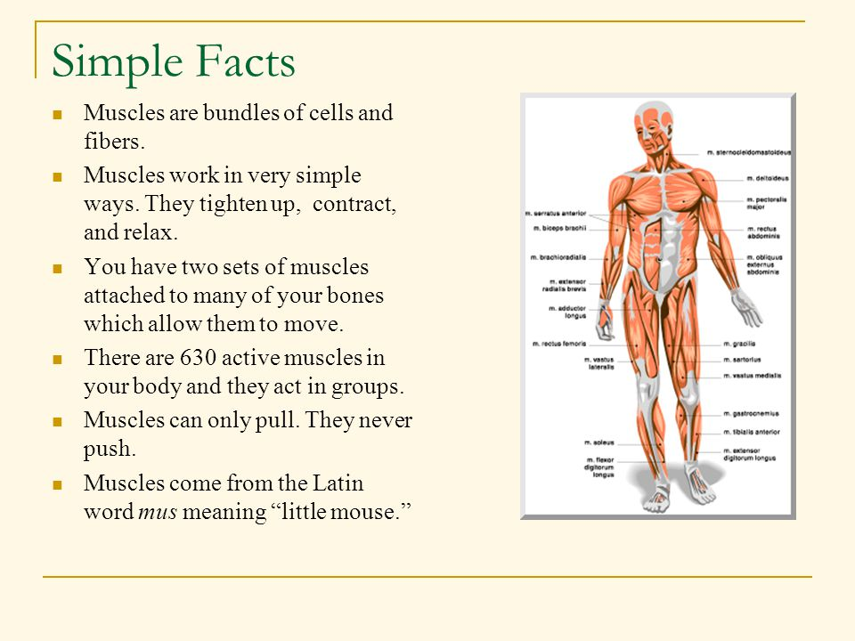 Simple Facts Muscles are bundles of cells and fibers.