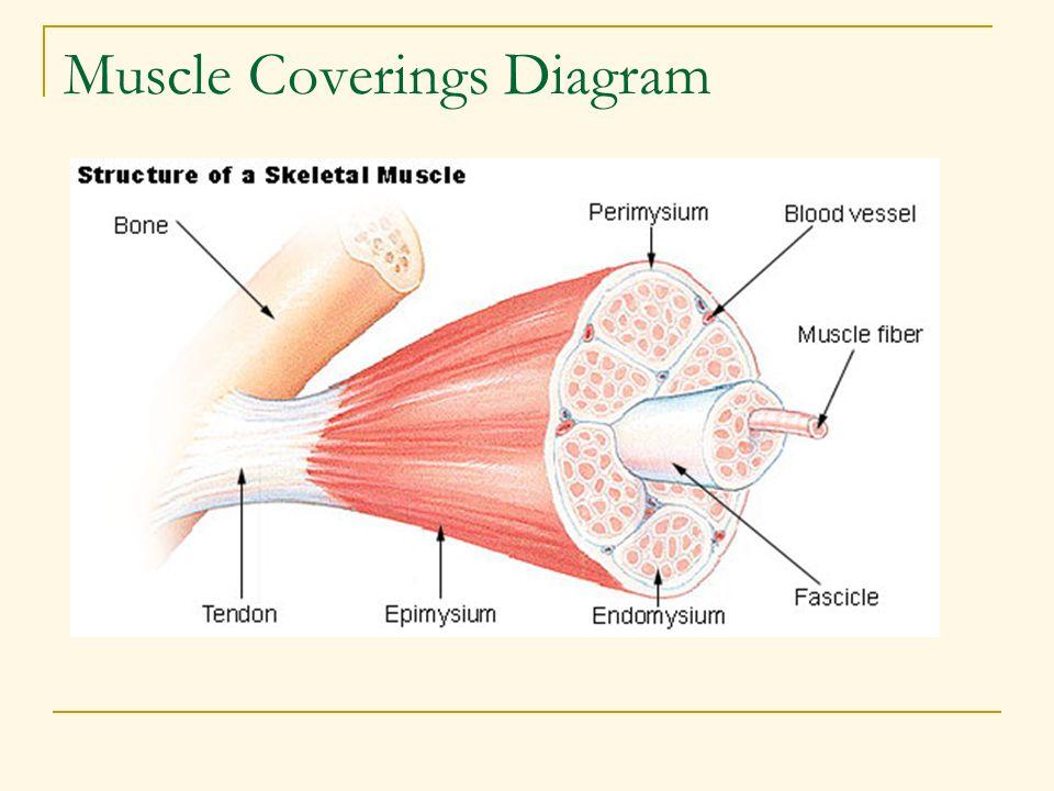 Muscle Coverings Diagram