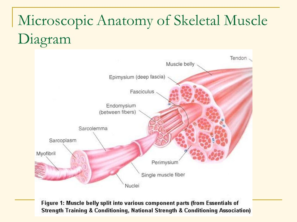 Microscopic Anatomy of Skeletal Muscle Diagram