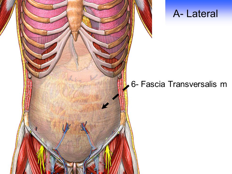 Transversalis Fascia Anatomy of Anterior Ab...