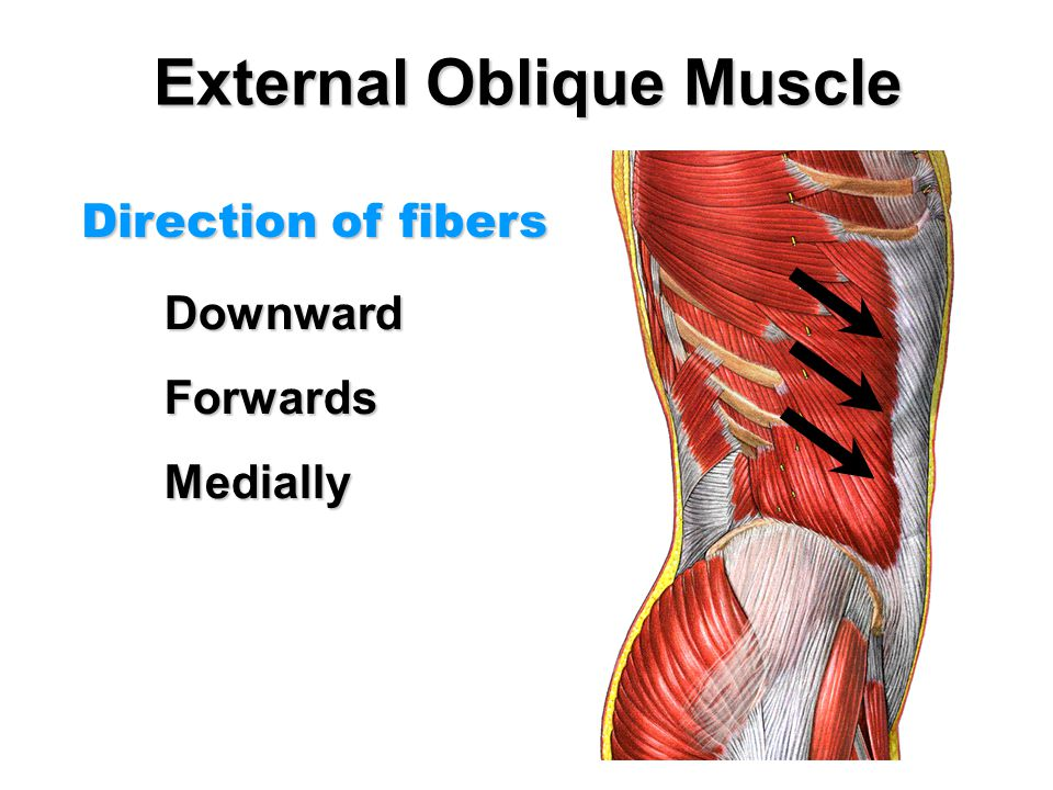 External Oblique Muscle