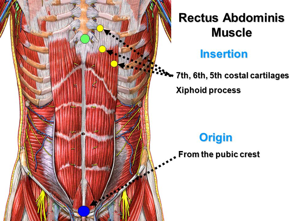 Anatomy Of Anterior Abdominal Wall Ppt Video Online Download