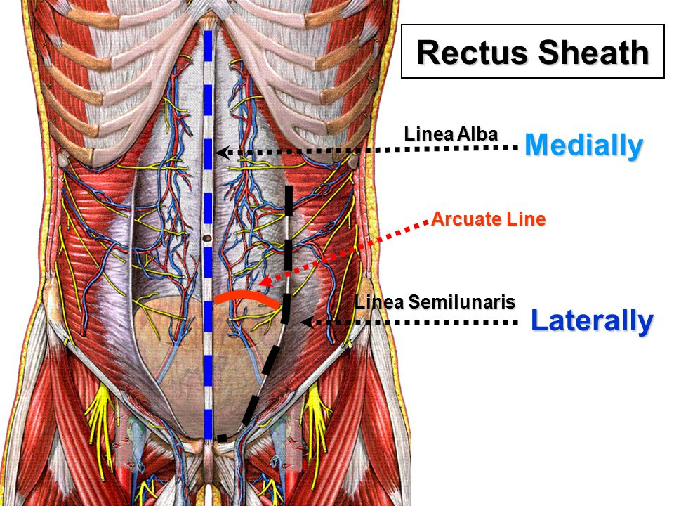 Rectus Sheath Medially Laterally Linea Alba Arcuate Line