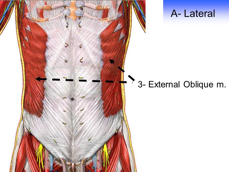 A- Lateral 3- External Oblique m.