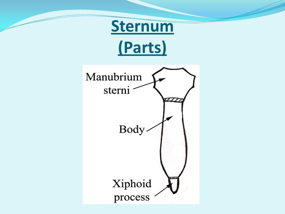 Sternum (Parts)