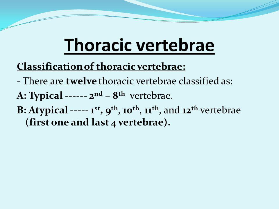 Thoracic vertebrae Classification of thoracic vertebrae:
