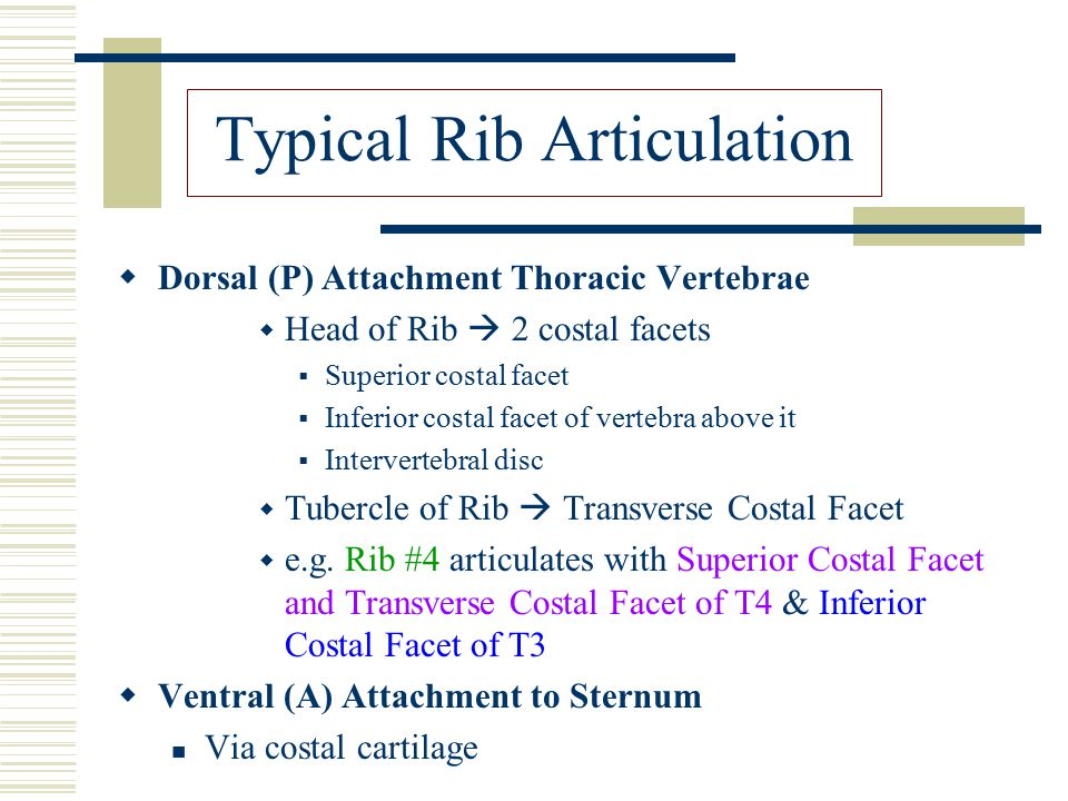 Typical Rib Articulation