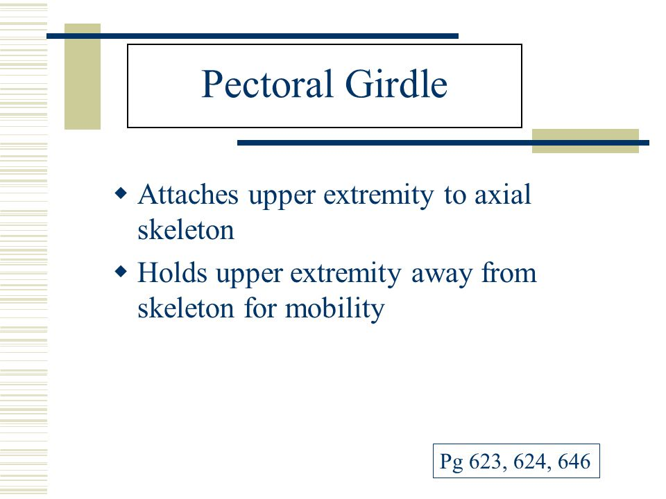 Pectoral Girdle Attaches upper extremity to axial skeleton