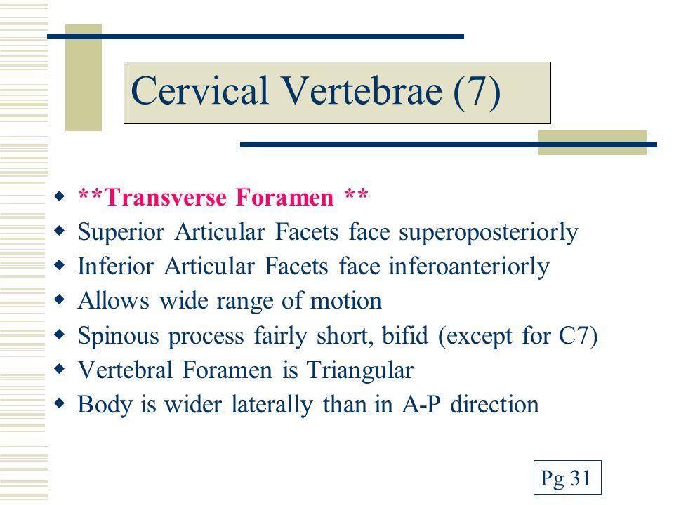 Cervical Vertebrae (7) **Transverse Foramen **