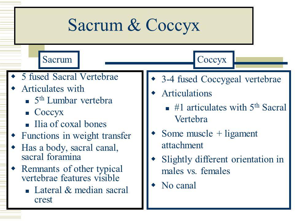 Sacrum & Coccyx Sacrum Coccyx 5 fused Sacral Vertebrae