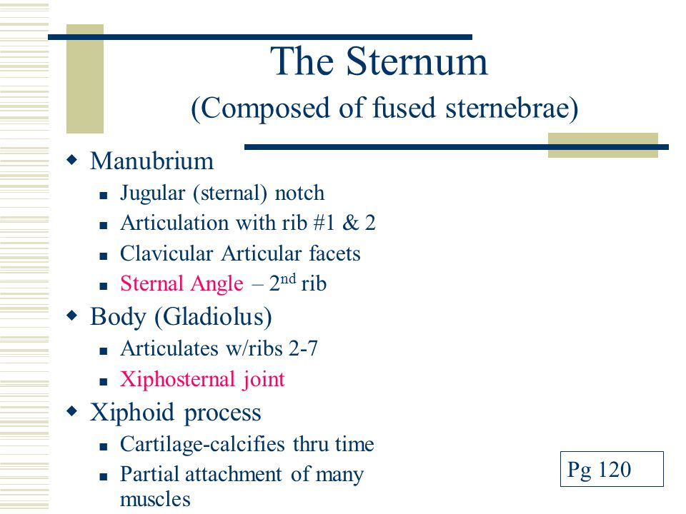 The Sternum (Composed of fused sternebrae)