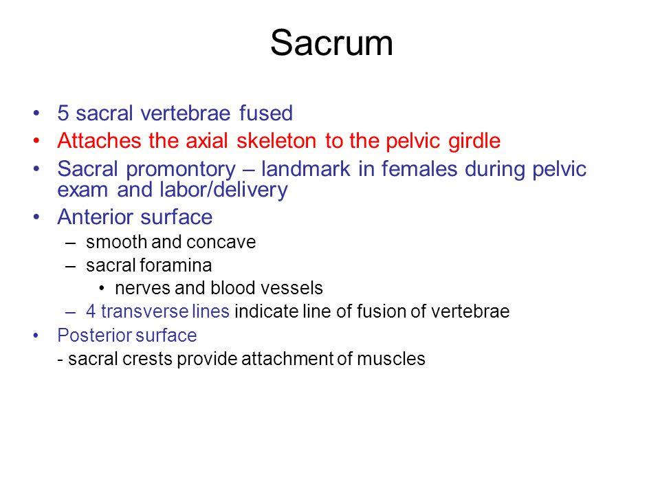 Sacrum 5 sacral vertebrae fused