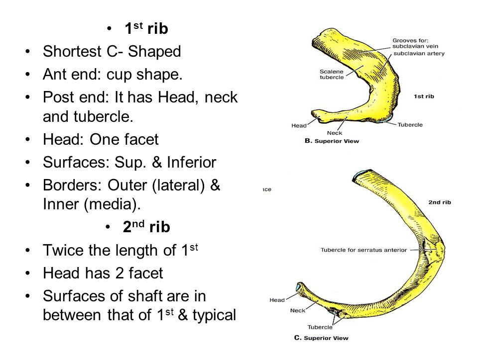 1st rib Shortest C- Shaped. Ant end: cup shape. Post end: It has Head, neck and tubercle. Head: One facet.