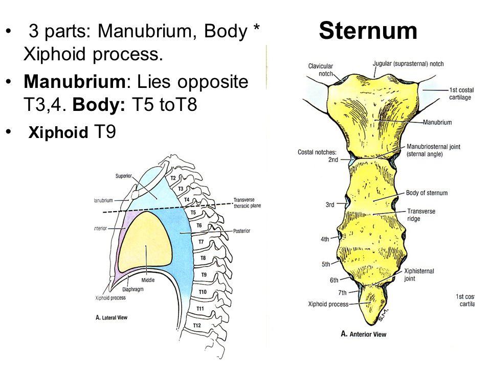 Sternum 3 parts: Manubrium, Body * Xiphoid process.
