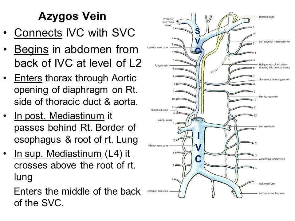 Begins in abdomen from back of IVC at level of L2