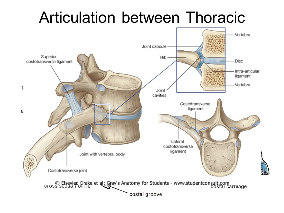 Articulation between Thoracic vertebrae and the ribs