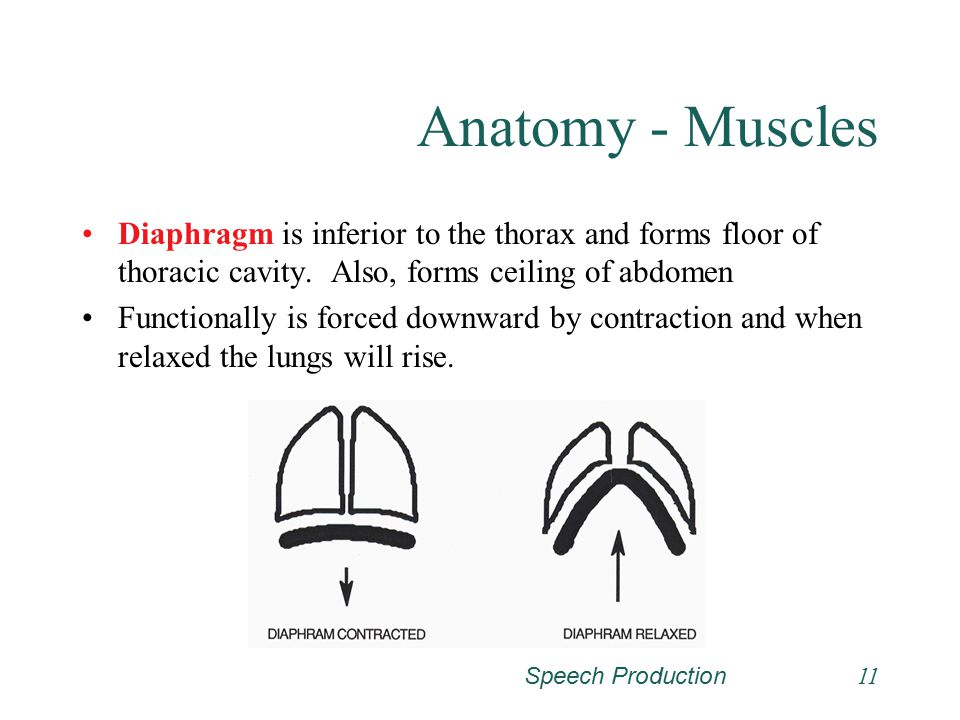 Anatomy - Muscles Diaphragm is inferior to the thorax and forms floor of thoracic cavity. Also, forms ceiling of abdomen.
