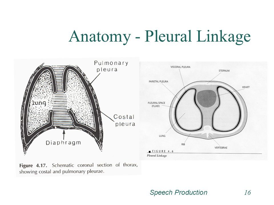 Anatomy - Pleural Linkage