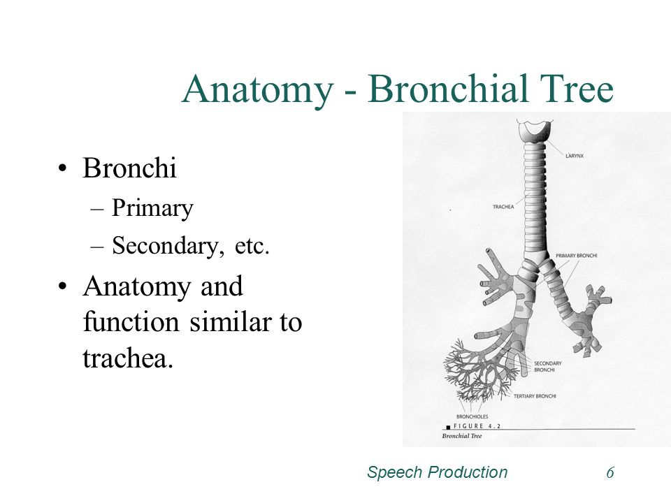 Anatomy - Bronchial Tree
