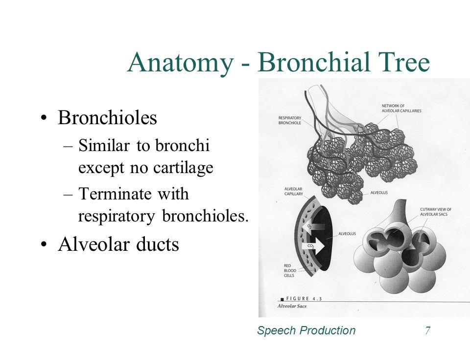Anatomy - Bronchial Tree