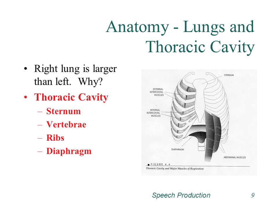 Anatomy - Lungs and Thoracic Cavity