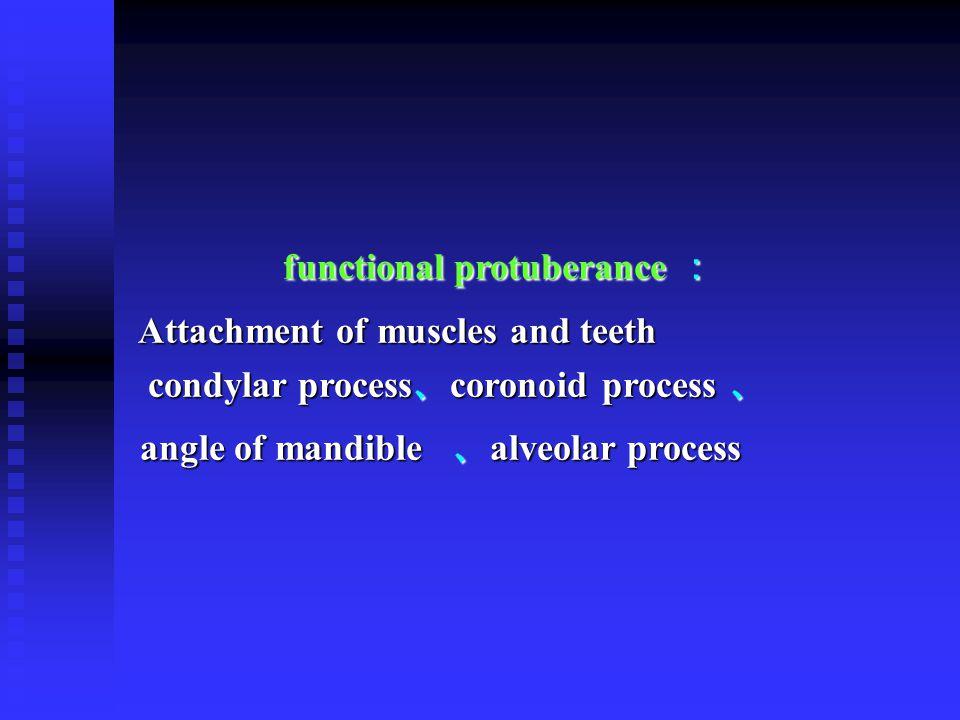 functional protuberance :