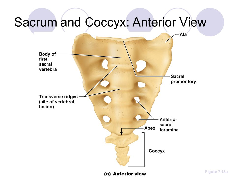 Sacrum and Coccyx: Anterior View