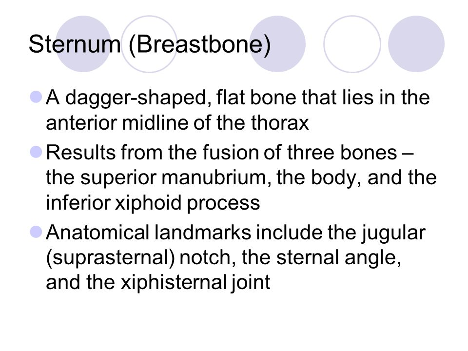 Sternum (Breastbone) A dagger-shaped, flat bone that lies in the anterior midline of the thorax.